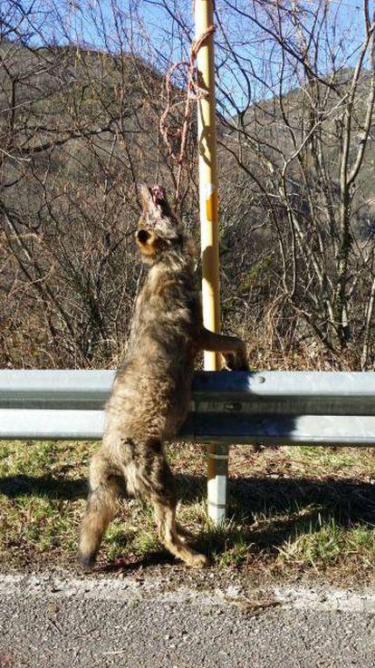 Lobo colgado en una carretera de Teverga (Asturias).