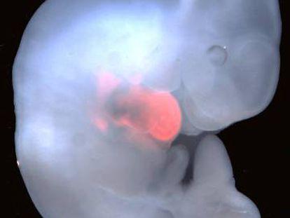 Corazón de rata (en rosa) en un embrión de ratón.