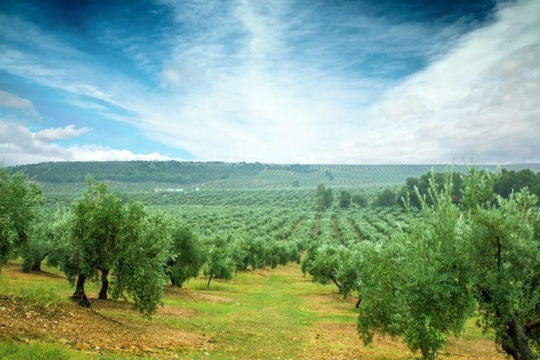 Un campo de olivos en Córdoba.