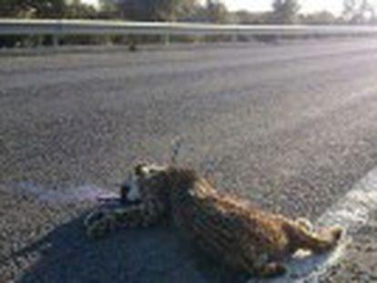 Durante 2015 murieron atropellados 15 felinos, siete menos que el año anterior, a pesar de que se liberaron más de 40 ejemplares en cuatro poblaciones nuevas