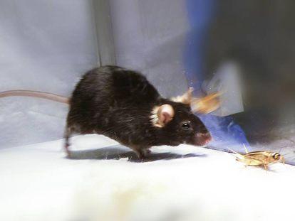 Los investigadores activaron y desactivaron el instinto cazador en ratones.