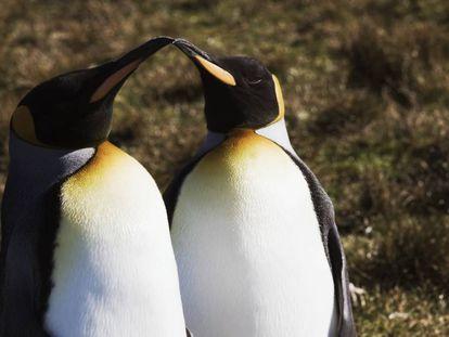 Dos pingüinos Rey.