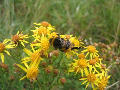 Un abejorro común poliniza flores silvestres junto a un cultivo.