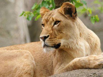 La leona Zuri, del zoo de Indianápolis.
