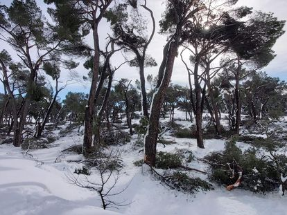 Árboles dañados por el temporal Filomena en la Casa de Campo de Madrid.