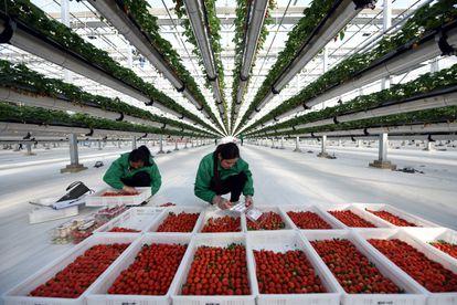 Empleados de un invernadero inteligencia seleccionan fresas en la provincia china de Shandong.