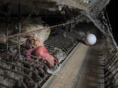 Igualdad animal ha denunciado a los propietarios de una granja de Mantua tras investigar las penosas e insalubres condiciones de la explotación