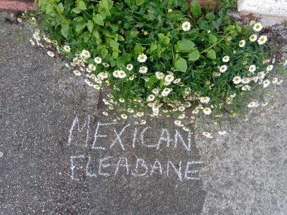 La margarita cimarrona (Erigeron karvinskianus) se ha convertido en una de las plantas más comunes en las ciudades de Inglaterra.