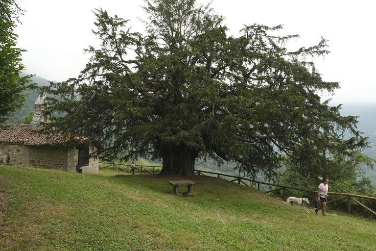 El tejo milenario de Bermiego (Asturias).