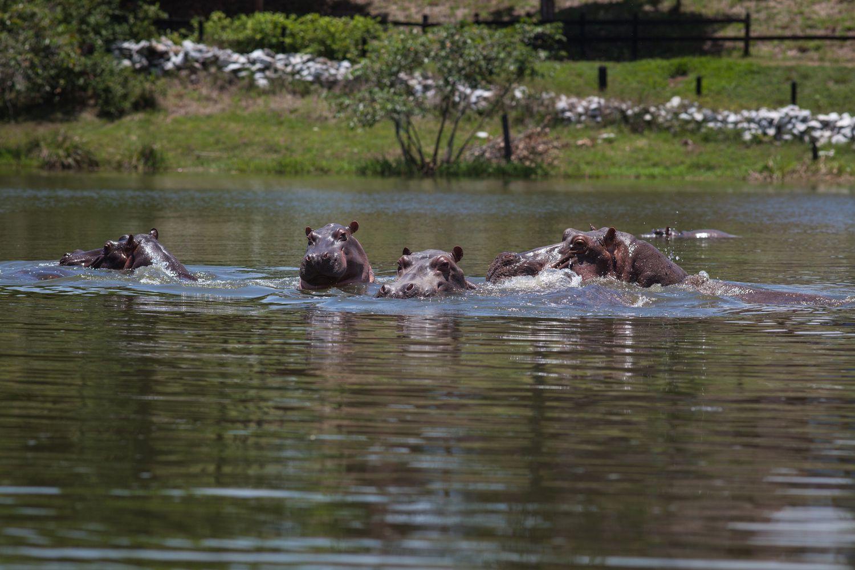 De los cuatro hipopótamos que tenía Pablo Escobar se ha pasado a unos 80. De seguir a este ritmo, serán unos 800 dentro de 20 años y alrededor de 7.000 en 2060.