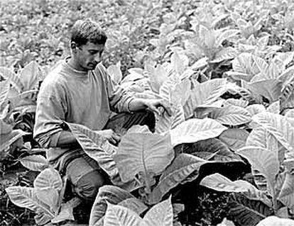 Un trabajador examina las plantas de una explotación de tabaco.