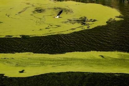 Ejemplar de cigüeña negra sobrevolando las aguas empantanadas del río Tajo durante su recorrido por el Parque Nacional de Monfragüe.