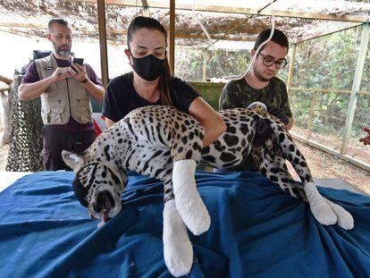 Una jaguar del Pantanal, el domingo pasado, con las patas vendadas por miembros de una ONG tras sufrir quemaduras por los incendios que sufre este ecosistema brasileño.