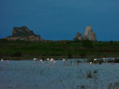 Flamencos en la zona desurbanizada y recuperada de los humedales de la Pletera, en L'Estartit.