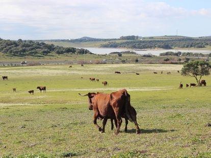 Piara de vacas de una ganadería en Andalucía.