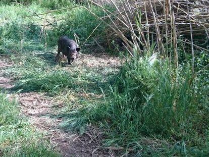 Cerdo vietnamita en campos de Lleida.