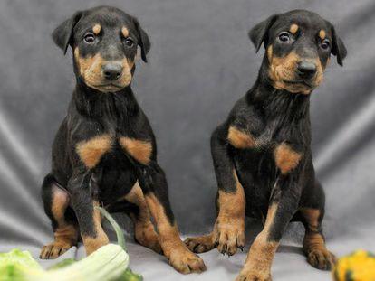 Una imagen promocional de la empresa estadounidense ViaGen Pets, especializada en la clonación de mascotas.