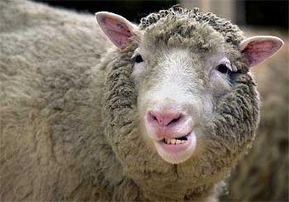 La oveja <i>Dolly</i><b>, en una imagen del año pasado en su establo del Instituto Roslin en Edimburgo.</b>