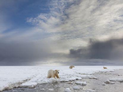 Osos polares en el mar de Beaufort, en el Refugio Nacional de Vida Silvestre del Ártico, en Alaska.