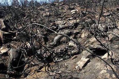 Una manada de caballos salvajes abrasados por un incendio forestal yace en las cercanías de la parroquia de Pinzás, en el municipio pontevedrés de Tomiño.