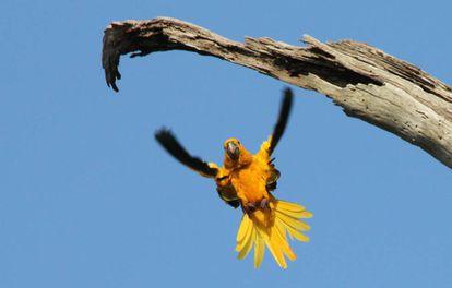 El guacamayo guaruba es una de las especies más amenazadas de las selvas de Pará.