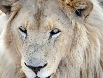 Fotografía de archivo de un león en Sudáfrica.