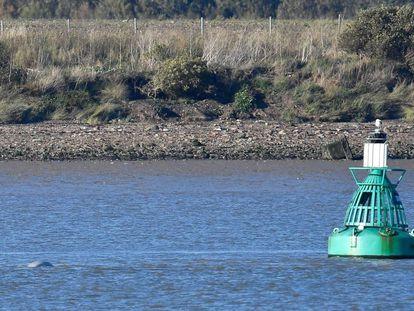 Una ballena beluga nada este martes en el río Támesis, a unos 40 kilómetros de Londres.