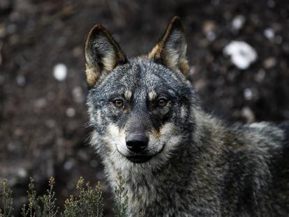 Lobos en estado de semilibertad en el Centro del lobo ibérico de Castilla y León Félix Rodríguez de la Fuente en Robledo, Puebla de Sanabria.