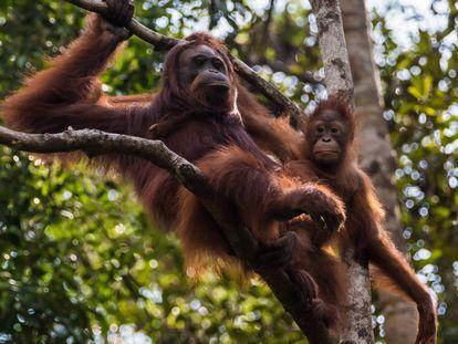 Las orangutanas cuidan a sus crías hasta los nueve años.
