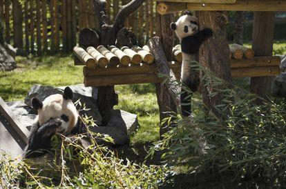 De izquierda a derecha, las osas Huai Zui Ba y Chulina, en el zoo de Madrid.