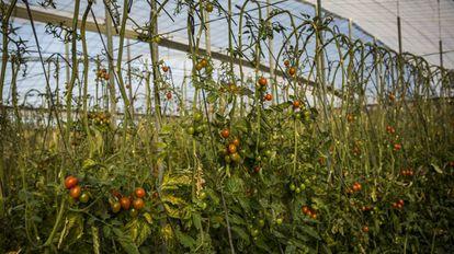Cultivo de tomates en un invernadero en Almería.