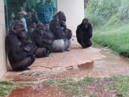 Gorilas debajo de un porche reguardados de la lluvia.