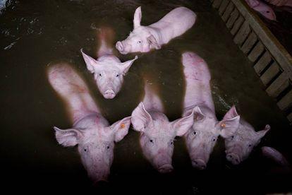 Seis cerdos en su corral inundado en Zaragoza, en una foto cedida por PACMA.