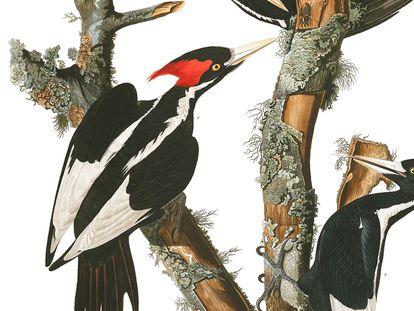 Una pareja de carpinteros pico de marfil, en un dibujo realizado por el histórico ornitólogo John James Audubon.