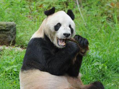 Un centro cerca de la ciudad china de Chengdu cuida de los pandas más longevos y se convierte en un hospital para los heridos