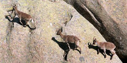 Un grupo de cabras en la Pedriza, en las estribaciones del parque regional de la Cuenca Alta del Manzanares.