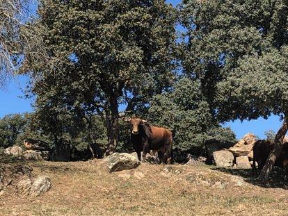 Un toro de la ganadería de Montealto, en la sierra madrileña.