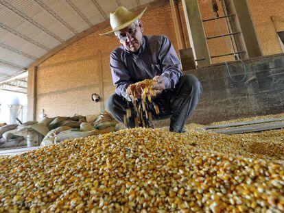 Un agricultor de Paraguay analiza maíz transgénico