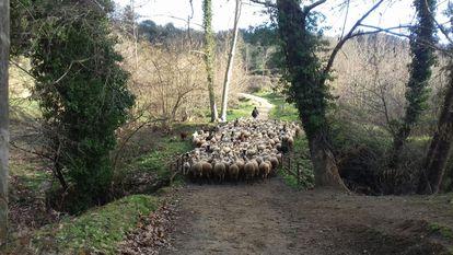 Carme pastoreando a sus ovejas.