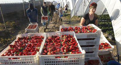 Un grupo de trabajadores extranjeros recoge fresas en Palos (Huelva).