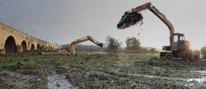 Máquinas recogiendo el camalote, planta invasora que se extiende por el Guadiana, a su paso por Extremadura.