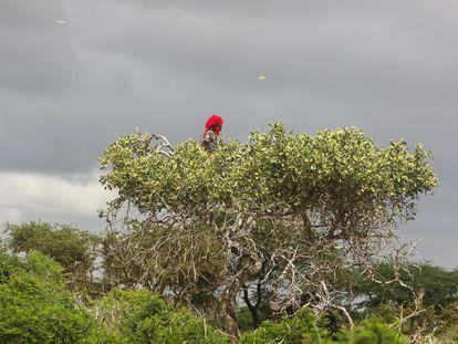Una niña somalí trepa a un árbol para defenderse de un enjambre de langostas del desierto en Daynile, Mogadiscio, Somalia, en noviembre de 2020.