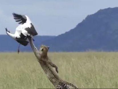 Un vídeo muestra el momento exacto en que un pájaro consigue zafarse de las garras del felino