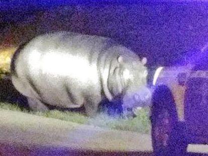 La Garrovilla, Badajoz, vivió anoche entre la incredulidad y la expectación durante una hora al conocer que este animal de 1.000 kilos de peso campaba a sus anchas por el extrarradio