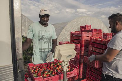 Un operario pesa cajas de fresa para el envío a los mercados en Palos de la Frontera (Huelva).
