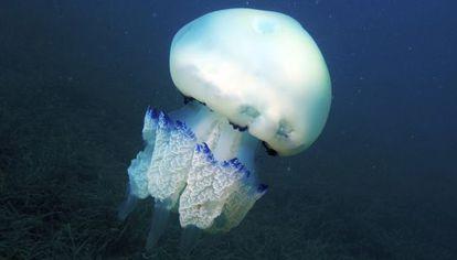Ejemplar de rhizostoma pulmo, medusa típica del mar Mediterráneo.