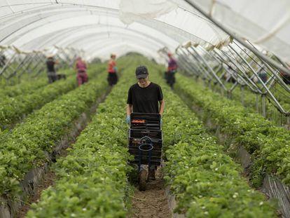 Trabajadoras en una finca de plantaciones de fresas y frambuesas en Almonte (Huelva) durante la temporada de 2018.