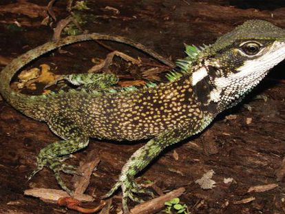 'Enyalioides sophiarothschildae', uno de los lagartos descubiertos.