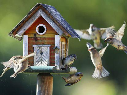 Un grupo de gorriones revolotea alrededor de un comedero para pájaros en Putgarten (Alemania).