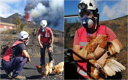 El vulcanólogo Rubén López, del IGN, recoge unas gallinas abandonadas cerca de la lava en La Palma.
